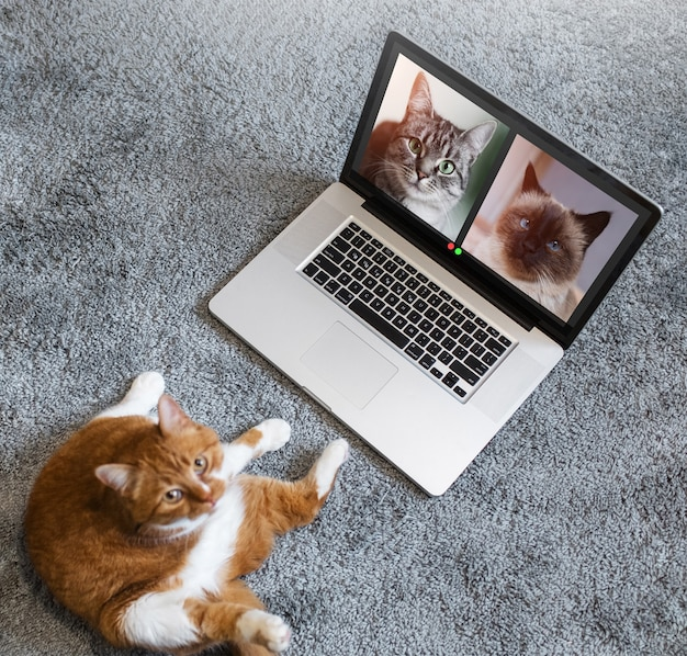 Widok z góry czerwonego kota rozmawiającego z kotami w grupowej rozmowie wideo na laptopie. zwierzęta prowadzące konferencję online.