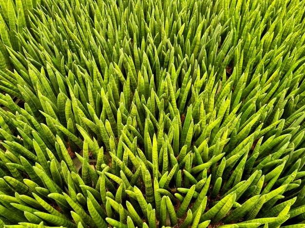 Widok z góry dracaena angolensis lub cylindryczna roślina węża na farmie roślin ozdobnych