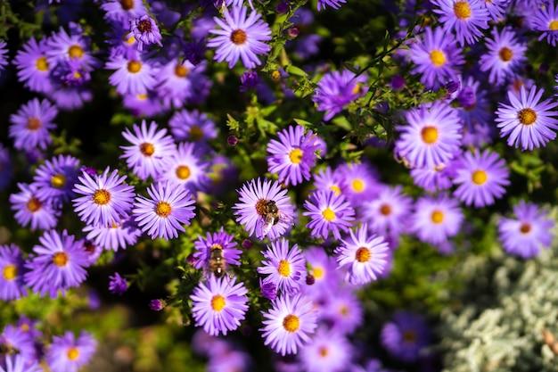 Widok z góry dwóch pszczół zapylających fioletowe kwiaty chryzantemy