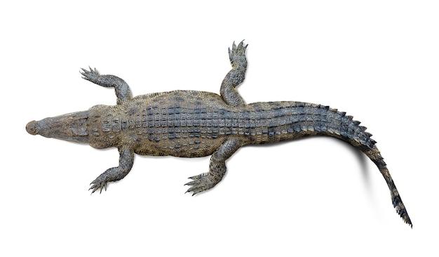 Widok z góry dzikiego krokodyla na białym tle
