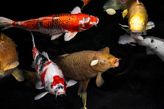 Widok z góry kolorowe ryby koi