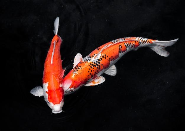 Widok Z Góry Kolorowe Ryby Koi Darmowe Zdjęcia