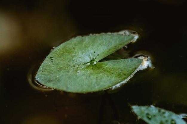 Widok z góry, kropelki wody na liściu lotosu