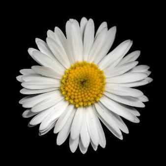 Widok z góry kwiat biały trawnik zwyczajny (bellis perennis) samodzielnie na czarno