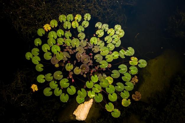 Widok z góry liść lotosu w ciemnej rzece