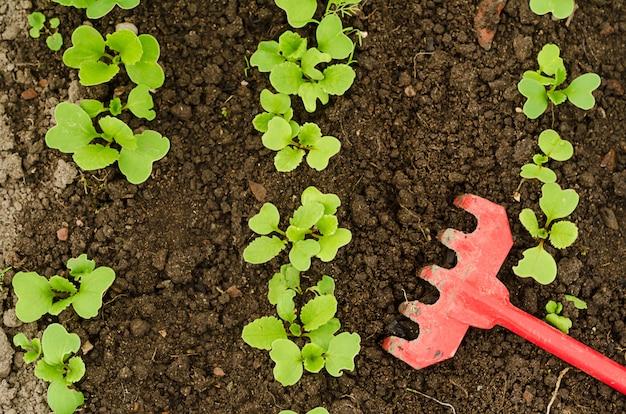 Widok z góry młode rzodkiewki wyrastają z nasion rosnących w glebie w szklarni.