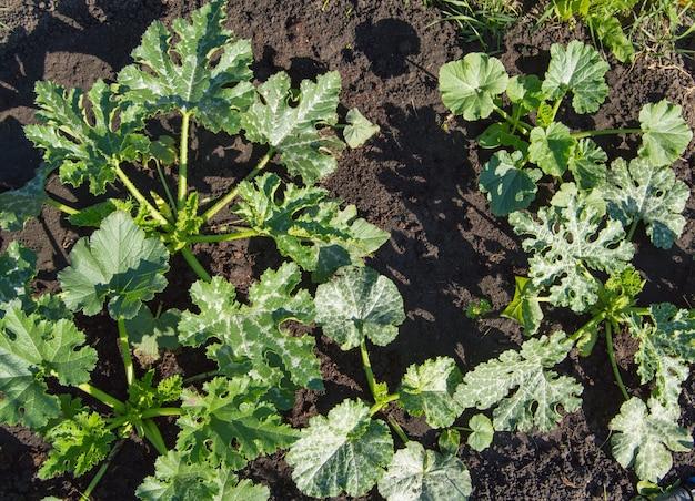 Widok z góry młodych organicznych sadzonek cukinii. rolnictwo organiczne. ściółkowanie zagonów warzywnych.