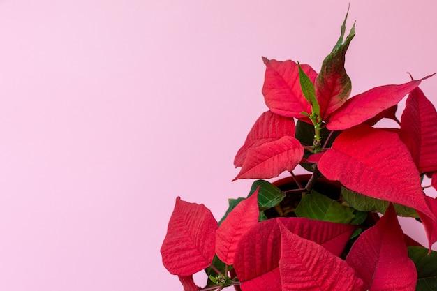 Widok z góry na bożonarodzeniową poinsecję na różowym tle