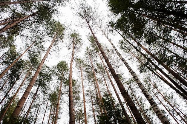 Widok z góry na duże sosny w lesie karpat.