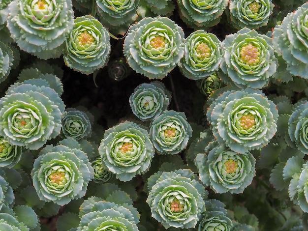 Widok z góry na kwiaty zielonej soczystej rośliny z różowymi akcentami abstrakcyjnym tle kwiatowym