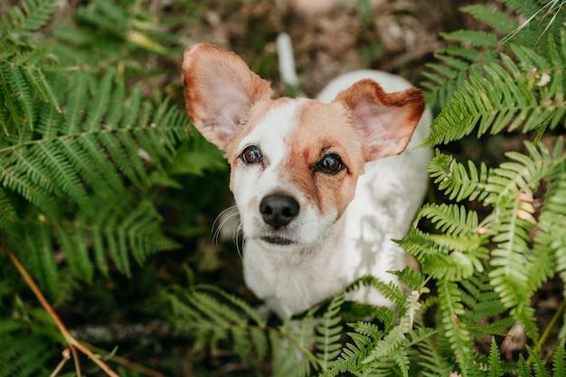 Widok z góry na ładny pies jack russell siedzący w lesie wśród zielonych liści paproci. przyroda i zwierzęta