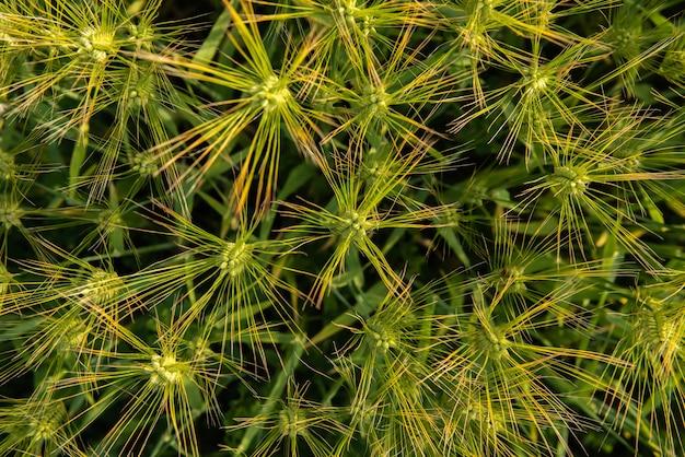 Widok z góry na młode zielone kłosy pszenicy pokazujące niesamowity kształt gwiazdy na kłosie pszenicy