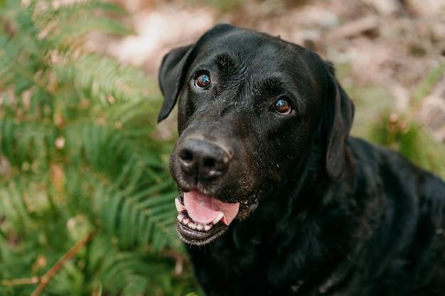 Widok z góry na piękny czarny pies labrador siedzi w lesie wśród zielonych liści paproci. przyroda i zwierzęta