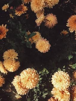 Widok z góry na płasko. kwiatowy wzór z żółtymi stokrotkami i ciemnozielonymi liśćmi
