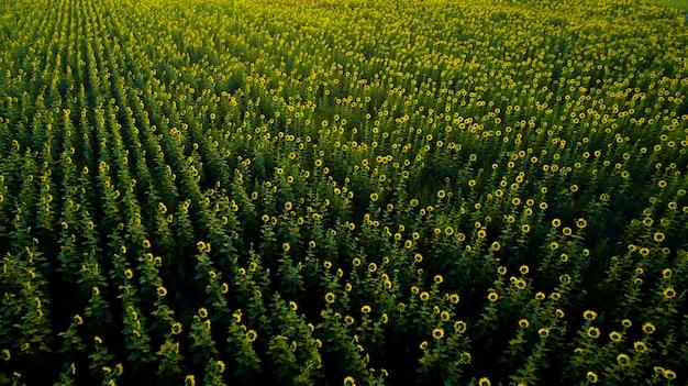 Widok z góry na pole słoneczników w tajlandii