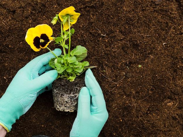 Widok z góry na ręce manipulujące rośliną