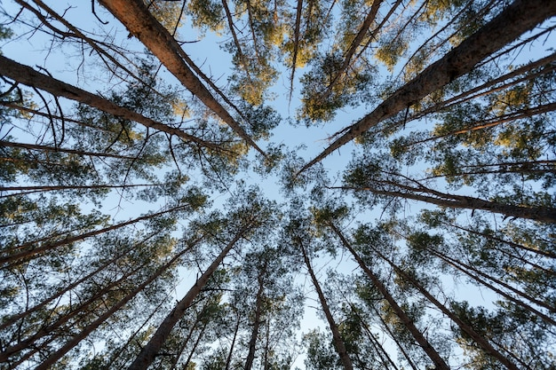 Widok z góry na wierzchołki jodeł w lesie