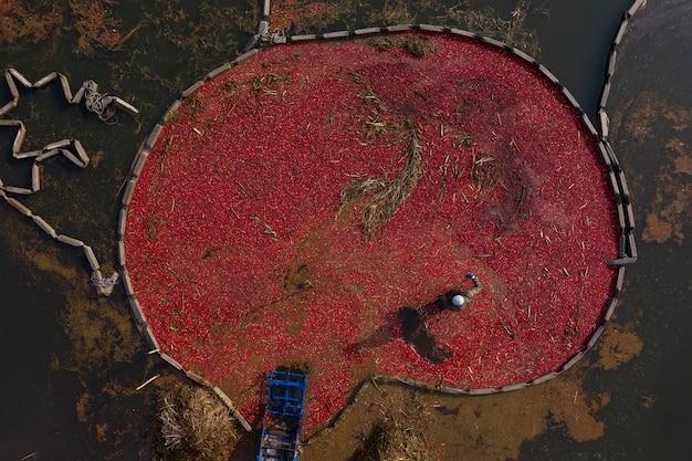 Widok z góry na zbiory żurawiny rolnika