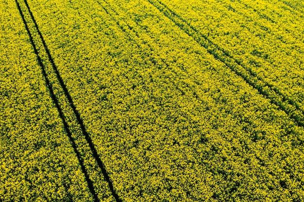 Widok z góry na żółte pole rzepaku na białorusi, obszar rolniczy