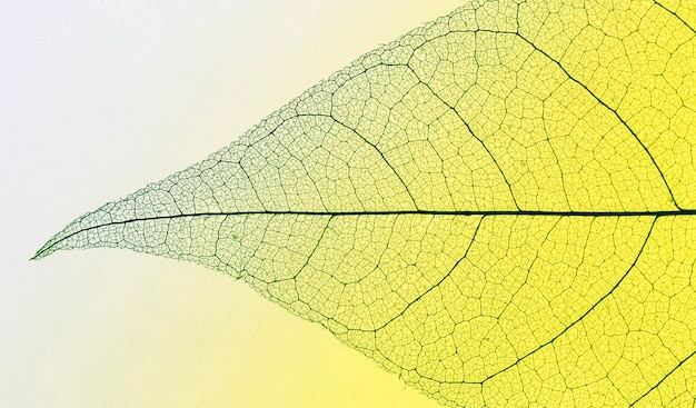 Widok z góry przezroczystego liścia
