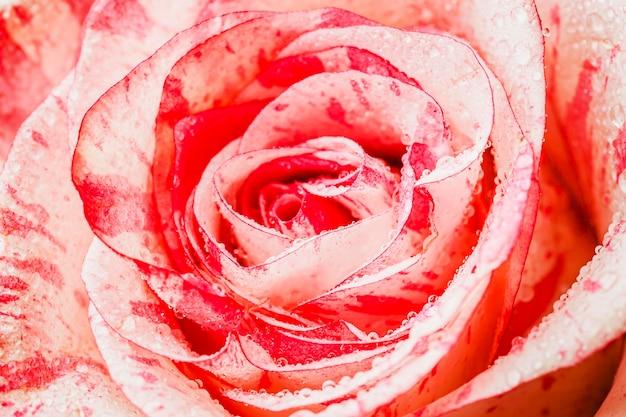 Widok z góry róża zbliżenie tapety