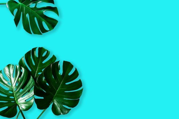 Widok z góry tropikalnego liścia monstery na niebieskim tle koloru
