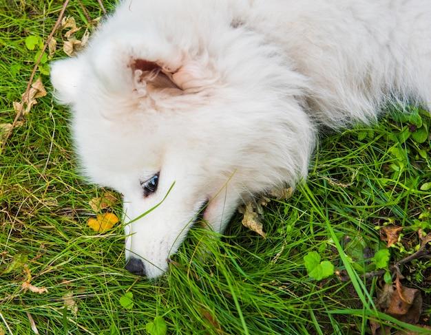 Widok z góry zabawny szczeniak samoyed w ogrodzie na zielonej trawie