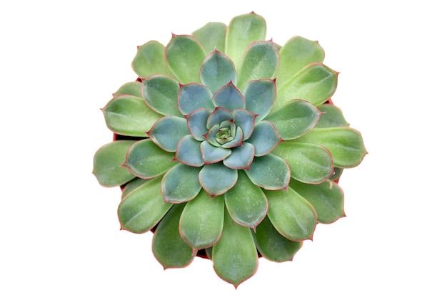 Widok z góry zielona soczysta roślina.