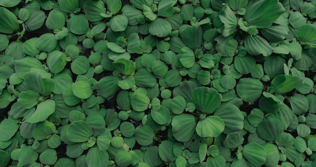 Widok z góry zielone liście sałaty wodnej unoszące się na powierzchni wody. pistia stratiotes lub sałata wodna jest rośliną wodną.