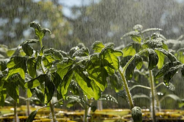 Widok z góry zraszanie sadzonek pomidorów krople wody na liściach pomidora rosnące rośliny
