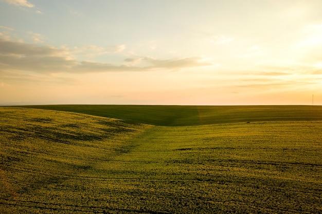 Widok z lotu ptaka jasne zielone pole gospodarstwa rolnego z uprawy roślin rzepaku o zachodzie słońca.