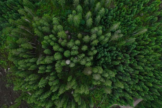 Widok z lotu ptaka lasu, tekstura lasu widok z góry, widok drona copter, zdjęcie panoramiczne nad szczytami lasu sosnowego