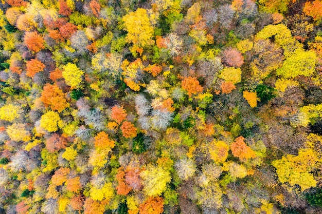 Widok z lotu ptaka na gęsty zielony las sosnowy z baldachimami świerków i kolorowych bujnych liści w jesiennych górach.