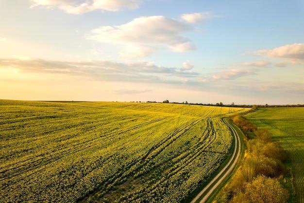 Widok z lotu ptaka na jasnozielone pole rolnicze z rosnącymi roślinami rzepaku i polną drogą biegową o zachodzie słońca
