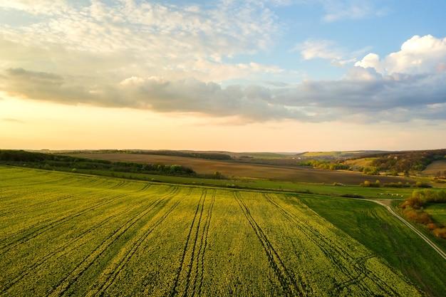Widok z lotu ptaka na jasnozielone pole rolnicze z rosnącymi roślinami rzepaku o zachodzie słońca.