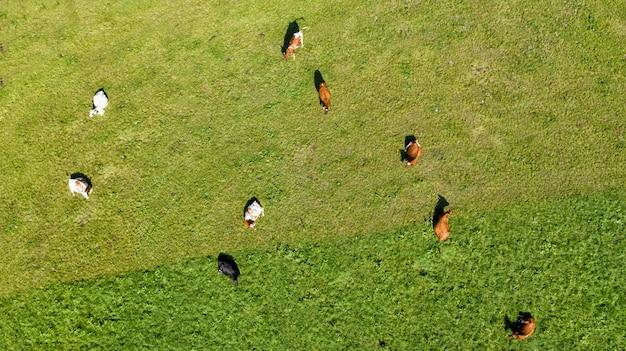 Widok z lotu ptaka na łąki i dzikie krowy