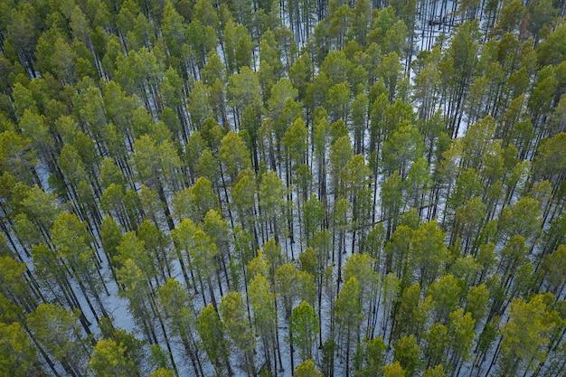 Widok z lotu ptaka na las z wysokimi zielonymi drzewami zimą