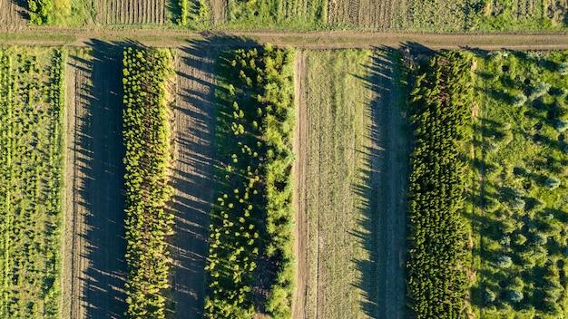 Widok z lotu ptaka na młode drzewka, sadzenie drzew na plantacjach do ogrodnictwa i odnowienia lasów. koncepcja ekologiczna. zdjęcie z drona