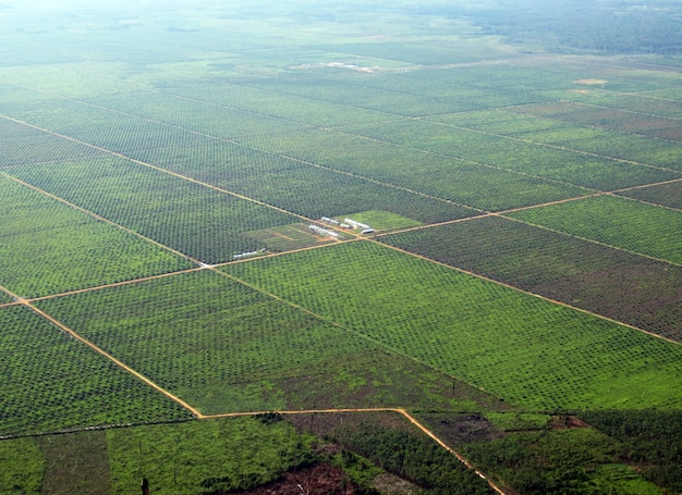 Widok z lotu ptaka na plantację oleju palmowego w zachodnim borneo lub kalimantan barat, indonezja.