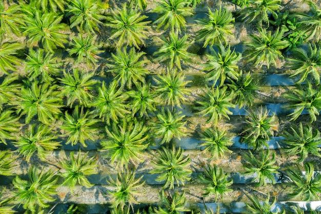 Widok z lotu ptaka na plantację palm kokosowych.