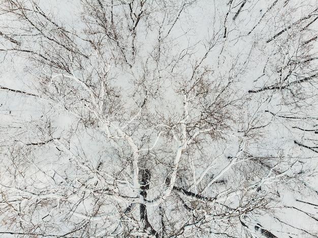 Widok z lotu ptaka na pokryte śniegiem plantacje lasów iglastych. rzędy świerków w słońcu.