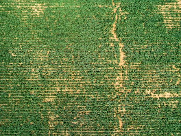 Widok z lotu ptaka na pole manioku do naturalnego ujęcia dronem