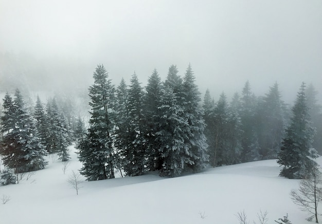 Widok z lotu ptaka na sosny pokryte śniegiem, krajobraz zimą