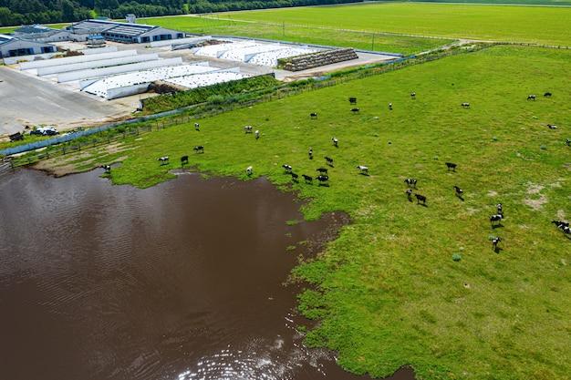 Widok z lotu ptaka na stado krów pasących się na pastwisku, widok z góry drone pov