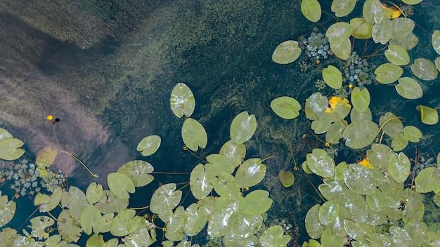 Widok z lotu ptaka na staw z żółtymi kwiatami lilii wodnej, zielonym liściem, rzęsą w letni dzień. zdjęcie z drona.