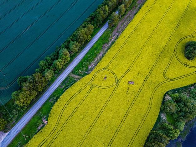 Widok z lotu ptaka na wiejską drogę między polami pszenicy i dużym żółtym polem rzepaku po jednej stronie