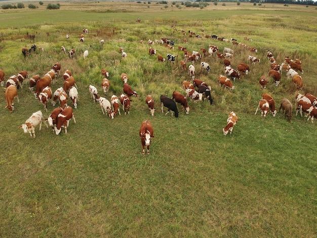 Widok z lotu ptaka na wolno pasące się krowy na zielonej łące.
