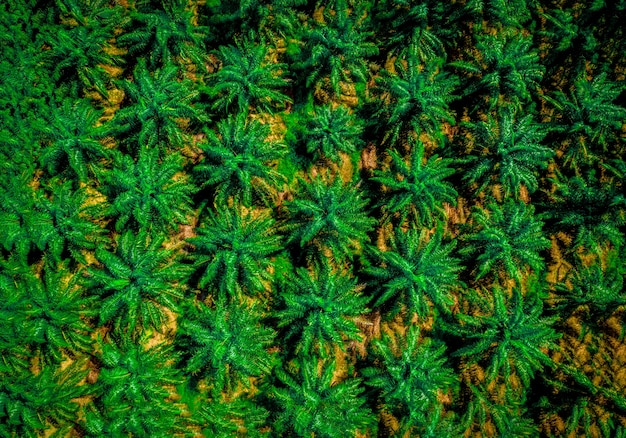Widok z lotu ptaka na wzór przemysłowej plantacji drzew palmowych