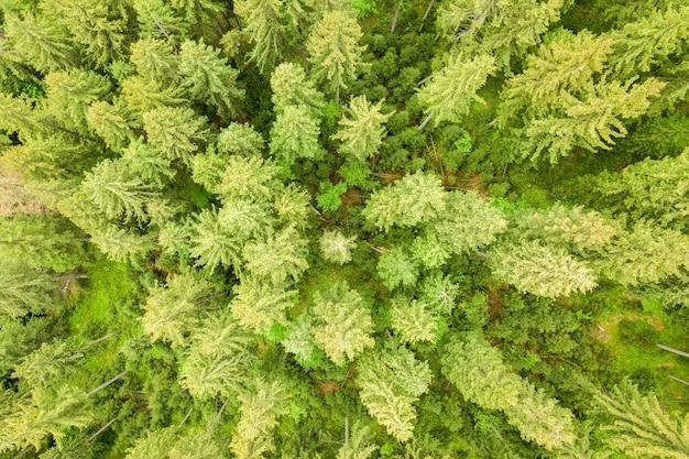 Widok z lotu ptaka na zielony sosnowy las z zadaszeniami świerków w górach latem.
