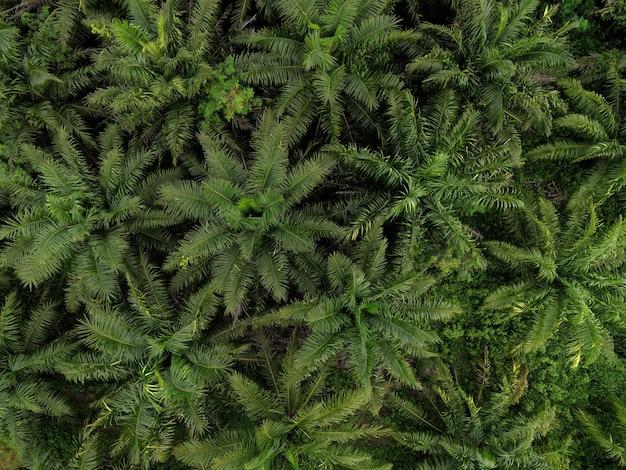 Widok z lotu ptaka palmy zielone pola natura gospodarstwo rolne tło, widok z góry liście palmowe z góry upraw w kolorze zielonym, roślina tropikalna z lotu ptaka